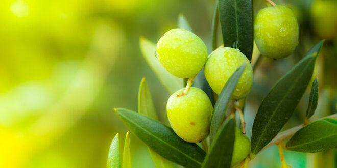 Πρόβλεψη για ποσότητα και τιμή της επιτραπέζιας ελιάς Χαλκιδικής