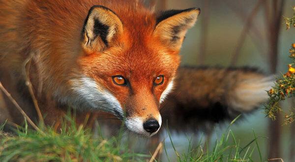 Εναέριος εμβολιασμός των κόκκινων αλεπούδων κατά της λύσσας