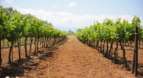 Οι επιλέξιμοι παραγωγοί για τις άδειες φύτευσης αμπέλου 2016