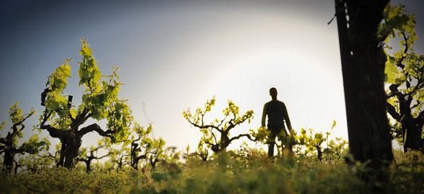Οι ασθένειες που μείωσαν την παραγωγή οίνου στη Γαλλία
