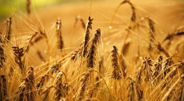 Αύξηση τοξινών σε καλλιέργειες  – Ποιες θεωρούνται περισσότερο ευάλωτες