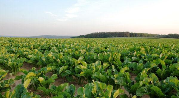 Τίτλοι τέλους για την καλλιέργεια των ζαχαρότευτλων στην Ελλάδα…