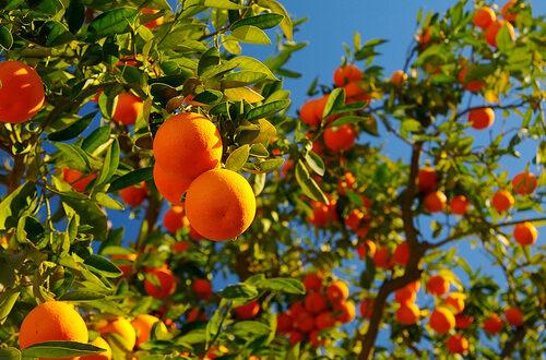 Σταθερή η συνδεδεμένη ενίσχυση για τα πορτοκάλια προς χυμοποίηση