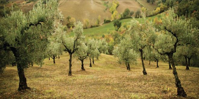 Μέτρο 21 – Οικονομική στήριξη ελαιοπαραγωγών: Αποκαταστάθηκε το πρόβλημα με τις ποικιλίες ελαιώνων