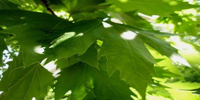 Καταστροφικός μύκητας νεκρώνει δένδρα πλατάνου στην Ήπειρο