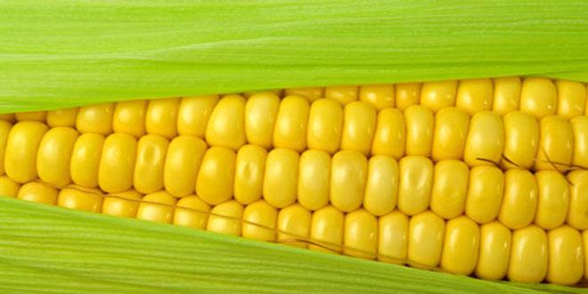 Συμβολαιακή γεωργία από τον Α.Σ. Βόλου-Οι τιμές αγοράς/πώλησης καλαμποκιού