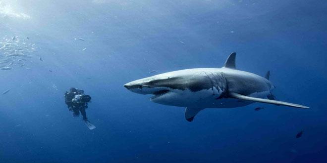Πώς θα επηρεάσει η άνοδος της οξύτητας των ωκεανών τους καρχαρίες