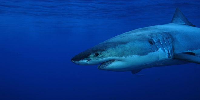Νέα συμφωνία για την προστασία των καρχαριών
