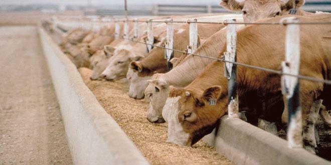Η ΕΕ δαπανά το 18-20% του προϋπολογισμού της για την κτηνοτροφία