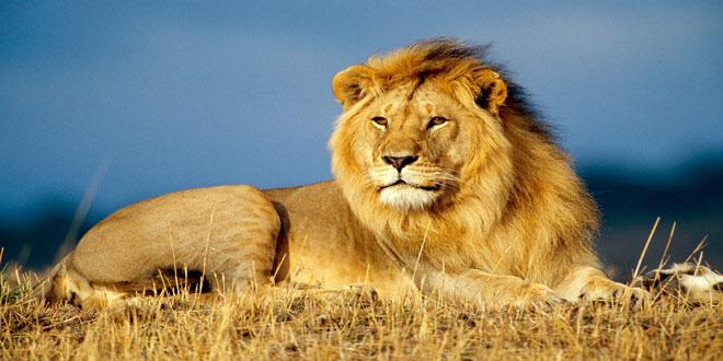 Η επέκταση των γεωργικών εκτάσεων απειλεί τα λιοντάρια