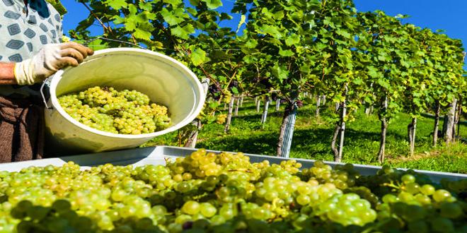 Τρύγος 2019 – Ζίτσα: Αύξηση της τιμής παραγωγού ΠΟΠ οίνου