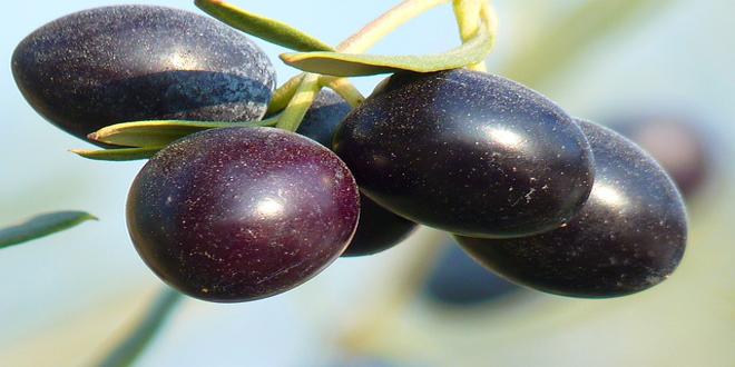 Ποικιλία Καλαμών – Ελιές ΠΟΠ Καλαμάτας. Σκόπιμη ή πραγματική σύγχυση;