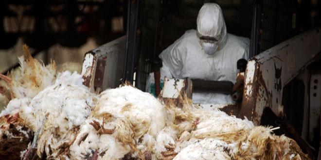 Αυξημένα κρούσματα γρίπης των πτηνών στην Ευρώπη