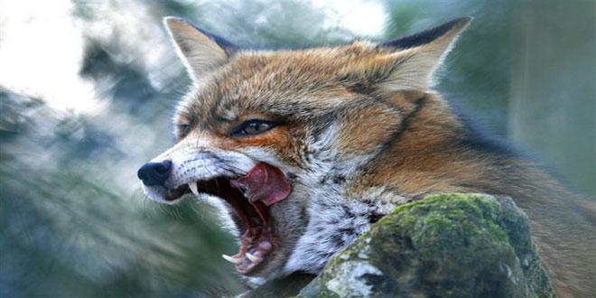 Αξιολόγηση των εμβολιασμών κατά της λύσσας – Αποζημιώσεις κυνηγών