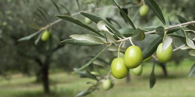 Ξεκινά η διάθεση δέκα πιστοποιημένων ποικιλιών ελιάς στα Φυτώρια