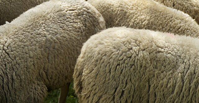 Καταρροϊκός πυρετός: Οικονομική ενίσχυση κτηνοτρόφων
