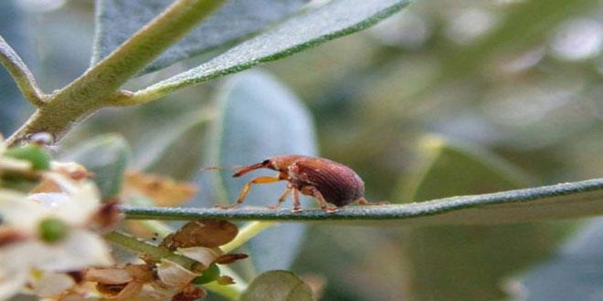 Ρυγχίτης ή μπίμπικας: Το σκαθάρι που τρέφεται με τους καρπούς της ελιάς