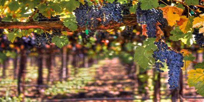 Μείωση της παραγωγής ευρωπαϊκού οίνου – Οι χώρες με τη μεγαλύτερη παραγωγή