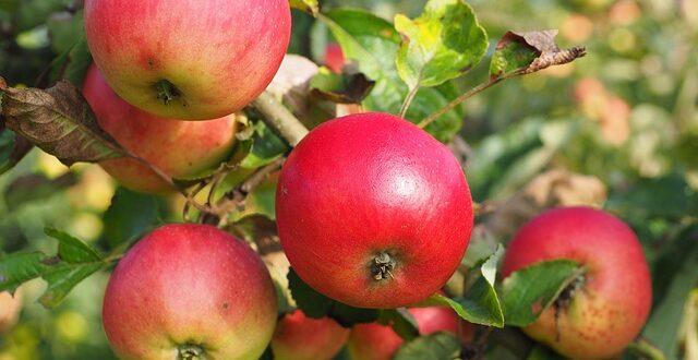 Μηλιά, Αχλαδιά: Τα καλλιεργητικά μέτρα για ασθένειες και εχθρούς