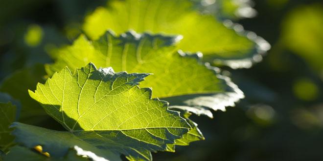 Αυξήθηκε η φωτοσυνθετική δραστηριότητα των φυτών
