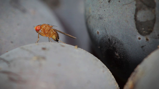 Drosophila-melanogaster