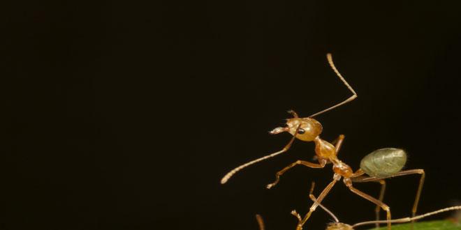 Τα μυρμήγκια αντικαθιστούν τα εντομοκτόνα