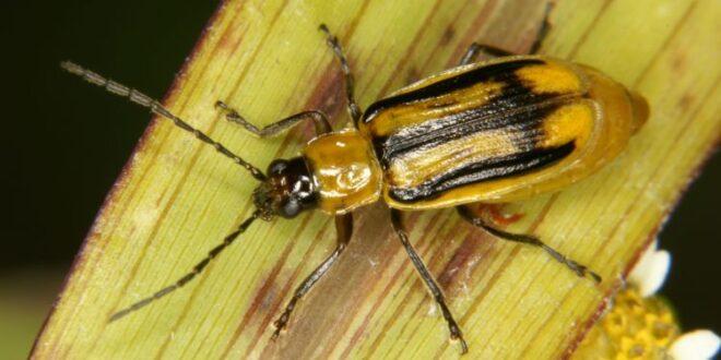 Καλλιέργεια αραβοσίτου: Μέτρα προστασίας από το έντομο Διαβρώτικα