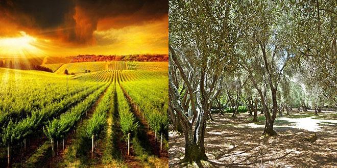 Η μεσογειακή γεωργία απέναντι στην κλιματική αλλαγή – Η περίπτωση των αμπελιών και των ελαιόδεντρων