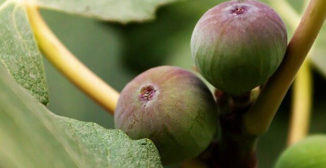 Κρατικές ενισχύσεις σε παραγωγούς σύκων, βαμβακιού, θερμοκηπιακές καλλιέργειες και φυτώρια