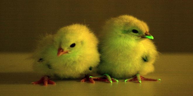 Γενετικά τροποποιημένα κοτόπουλα που φωσφορίζουν στο σκοτάδι!
