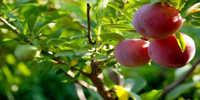 Ασθένειες και εχθροί πυρηνόκαρπων – Τα απαραίτητα καλλιεργητικά μέτρα