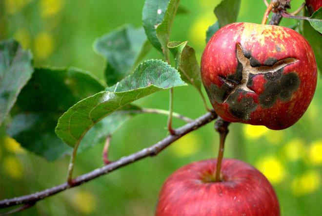 φουζικλαδιο-μηλια