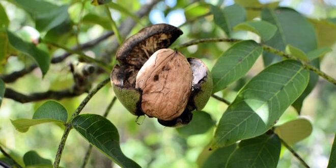 Καρυδιά: Προστασία των δέντρων από ανθράκωση και βακτηρίωση