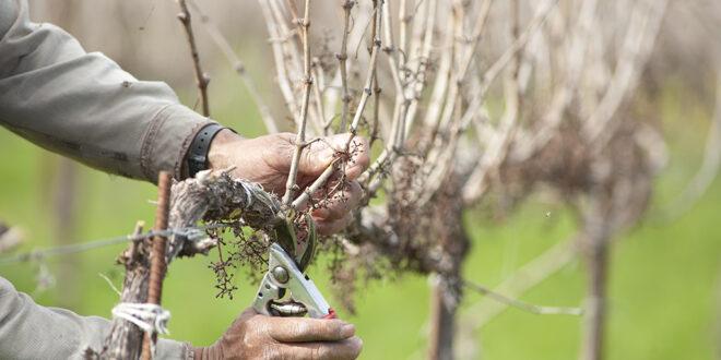 Αμπέλι: Σωστό κλάδεμα για την πρόληψη των ασθενειών ξύλου