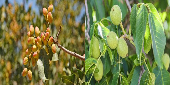Φυστικιά-Καρυδιά: Ιδανική εποχή για κλάδεμα και λίπανση