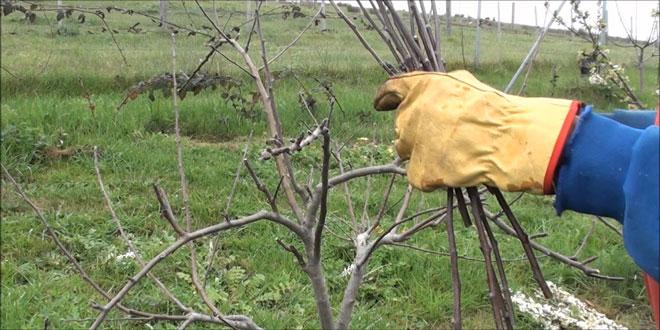 Μηλιά – Αχλαδιά: Χειμερινές επεμβάσεις για καταπολέμηση εχθρών και ασθενειών