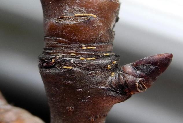 Ωά ψύλλας ανάμεσα σε ρυτιδώματα της βάσης ανθοφόρων οφθαλμών της αχλαδιάς.