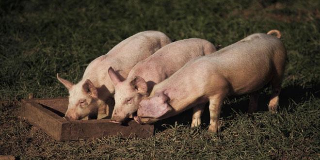 Περισσότερα τα γουρούνια από τους ανθρώπους στην Ισπανία – Οι επιπτώσεις