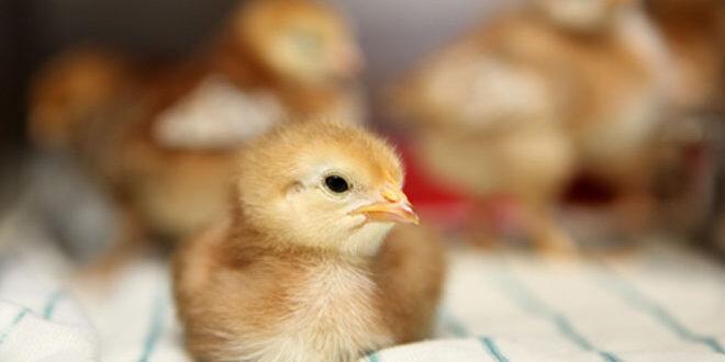 Νέα τεχνική δίνει τέλος στη μαζική σφαγή εκατομμυρίων αρσενικών κοτόπουλων