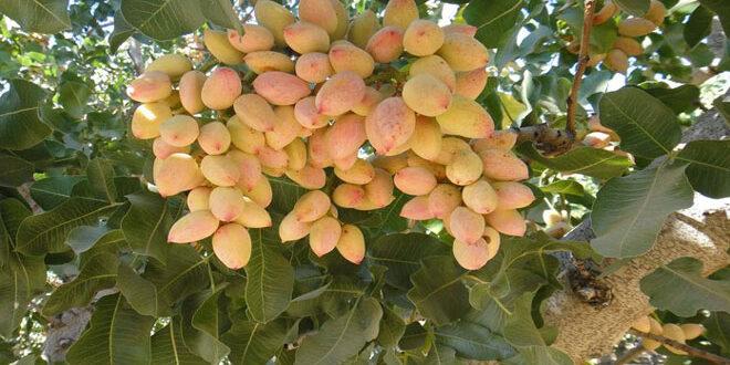 Καλλιέργεια φιστικιάς: Άδεια 120 ημερών για δυο φυτοπροστατευτικά προϊόντα