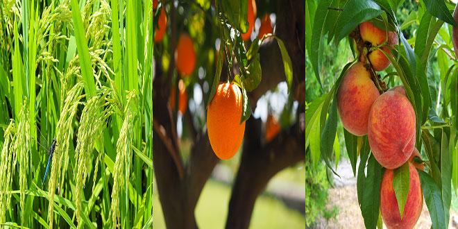 Συνδεδεμένες ενισχύσεις:  Πορτοκάλια προς χυμοποίηση – Ρύζι – Συμπύρηνα ροδάκινα προς χυμοποίηση