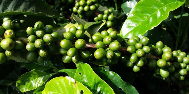 Η κλιματική αλλαγή απειλεί τον καφέ – Ακατάλληλες για καλλιέργεια το 50% των εκτάσεων έως το 2050