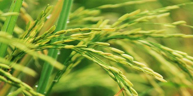 Το ποσό της συνδεδεμένης ενίσχυσης στον τομέα του ρυζιού