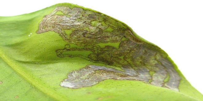 Φυλλοκνίστης: Εχθρός της νεαρής βλάστησης των εσπεριδοειδών