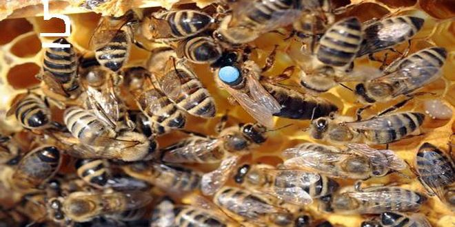 Νέα τεχνική για τη διάσωση των μελισσών