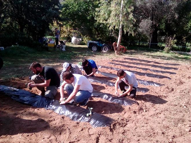 Φύτευση σπορόφυτων μπρόκολου με χρήση μεμβράνης εδαφοκάλυψης στο εργ. Ανθοκηπευτικών Καλλιεργειών