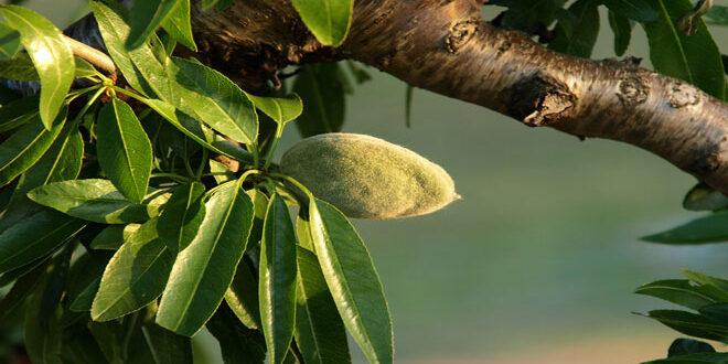 Φώμοψη στις αμυγδαλιές: Βροχές και υγρασία ευνοούν την ανάπτυξη του μύκητα