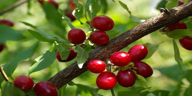 Κρανιά: το δέντρο της μακροζωίας. Δυνατότητες και προοπτικές της καλλιέργειάς του