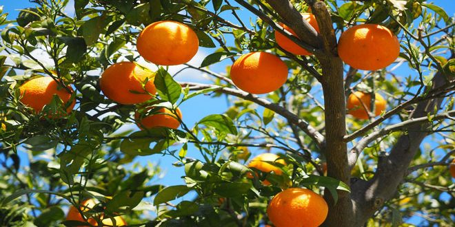 Που οφείλεται το σκάσιμο των καρπών σε πορτοκαλιές και μανταρινιές