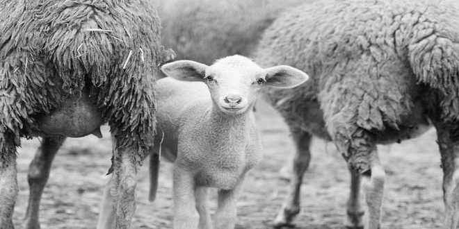Αυστραλία: Η ξηρασία πλήττει την προβατοτροφία
